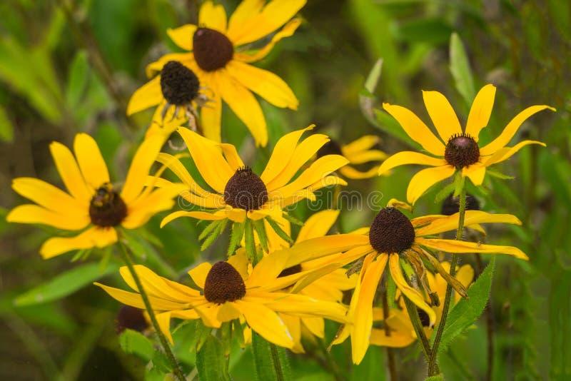 Μια ομάδα μαύρος-eyed Susan Wildflowers - 2 στοκ εικόνα