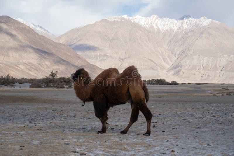 Μια ομάδα μιας καμήλας που περπατά σε έναν αμμόλοφο στο Hunder, το Hunder είναι ένα χωριό στην περιοχή Leh του Τζαμού και Κασμίρ, στοκ εικόνες