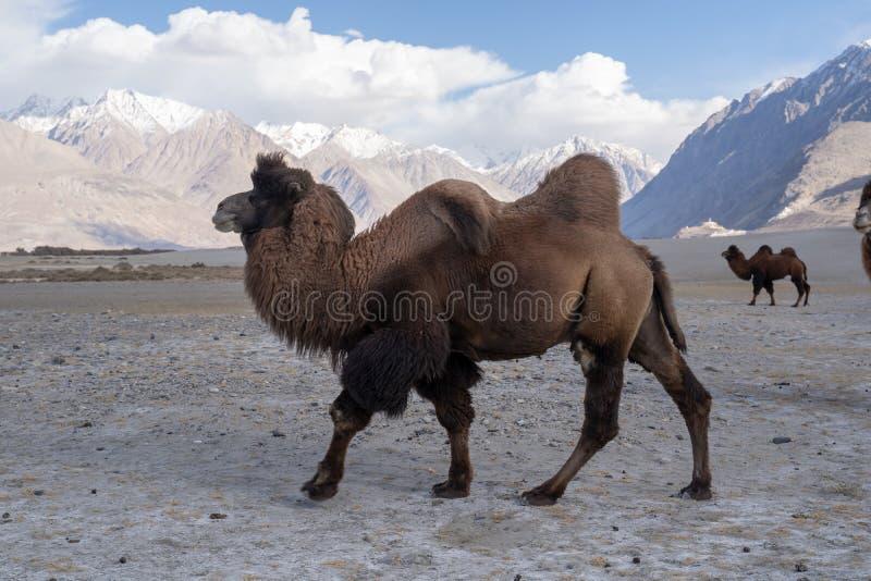 Μια ομάδα μιας καμήλας που περπατά σε έναν αμμόλοφο στο Hunder, το Hunder είναι ένα χωριό στην περιοχή Leh του Τζαμού και Κασμίρ, στοκ εικόνες με δικαίωμα ελεύθερης χρήσης