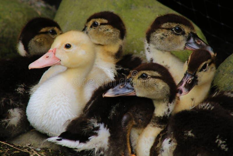 Μια ομάδα χαριτωμένων μικρών χήνων, μια που είναι η άσχημη πάπια σε ένα διαφορετικό χρώμα στοκ εικόνα