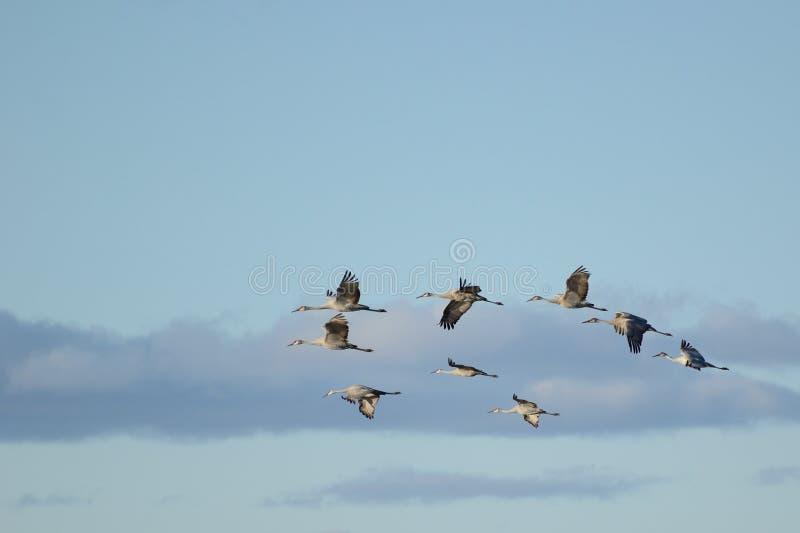 Μια ομάδα γερανών Sandhill κατά την πτήση στοκ φωτογραφία με δικαίωμα ελεύθερης χρήσης