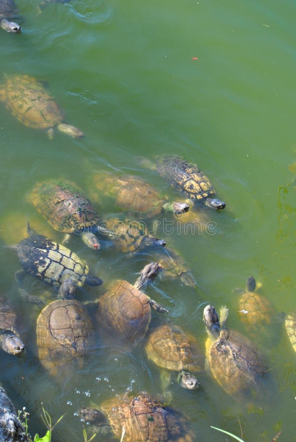 Μια ομάδα σπάζοντας απότομα χελωνών στοκ εικόνες
