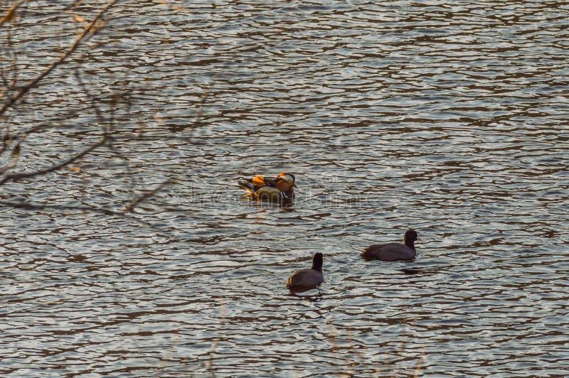 Μια πάπια μανταρινιών και αμερικανική φαλαρίδα δύο στοκ φωτογραφία με δικαίωμα ελεύθερης χρήσης
