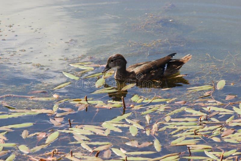 Μια πάπια που επιπλέει στο νερό στοκ εικόνα