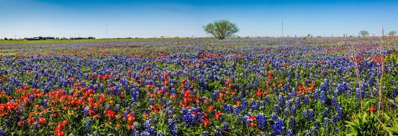 Μια πανοραμική άποψη ενός όμορφου τομέα του Τέξας Wildflowers στοκ φωτογραφία