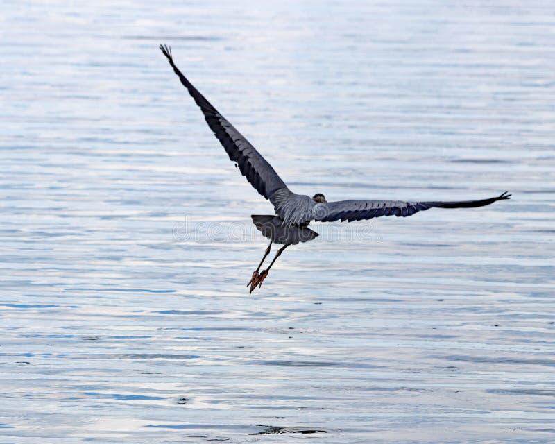 Μια παραδόξως χαριτωμένη απογείωση ως μεγάλος μπλε ερωδιός πετά έξω πέρα από Hancock τη λίμνη στοκ φωτογραφία με δικαίωμα ελεύθερης χρήσης