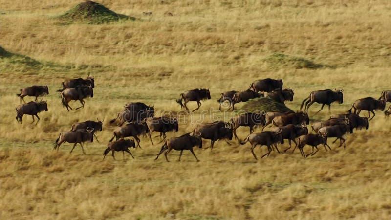Μια περίοδος ανομβρίας παίρνει τη λαβή Για να αποφύγει το λιμό, πολλοί ο πιό wildebeest περιπλανηθείτε η ανατολική αφρικανική σαβ στοκ φωτογραφία