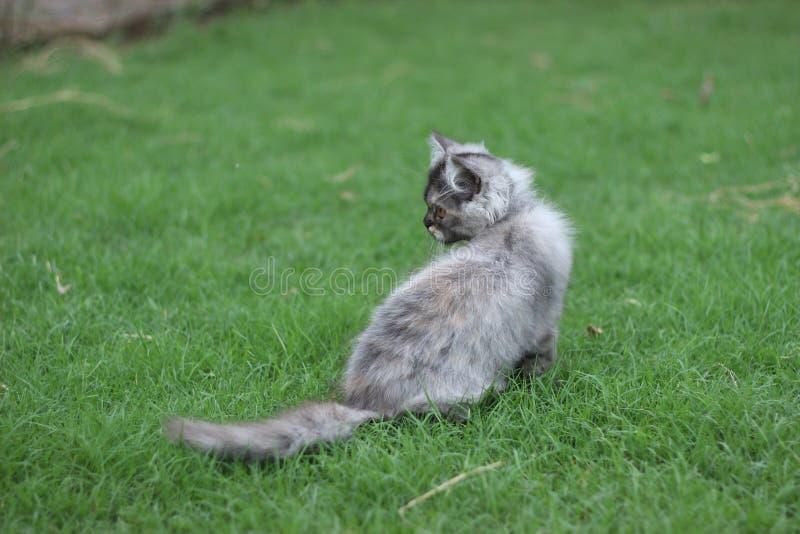 Μια περσική γάτα μωρών στην πράσινη χλόη στοκ φωτογραφία