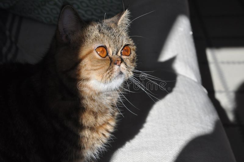 Μια περσική γάτα σε έναν καναπέ στοκ εικόνα