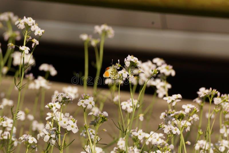 Μια πεταλούδα έβαλε σε ένα λουλούδι - Γαλλία στοκ εικόνες με δικαίωμα ελεύθερης χρήσης