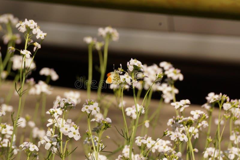 Μια πεταλούδα έβαλε σε ένα λουλούδι - μπροστινή άποψη - Γαλλία στοκ φωτογραφίες