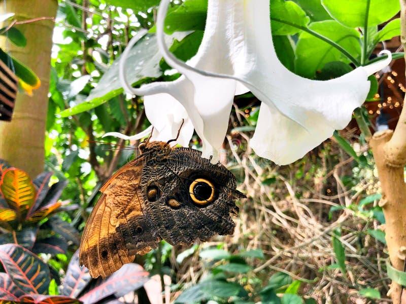 Μια πεταλούδα κουκουβαγιών που προσγειώνεται σε ένα άσπρο λουλούδι στοκ φωτογραφία με δικαίωμα ελεύθερης χρήσης