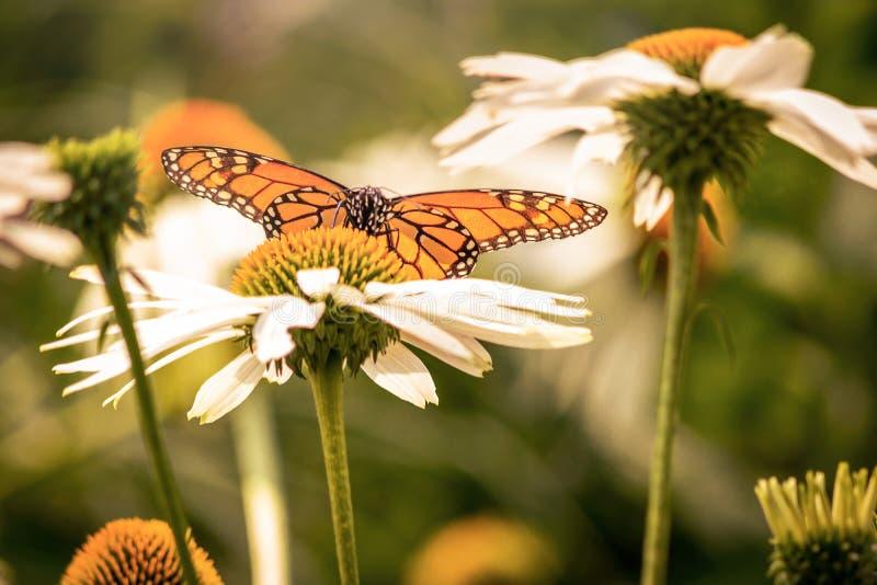 Μια πεταλούδα μοναρχών και μια άσπρη μαργαρίτα ανθίζουν στοκ φωτογραφία