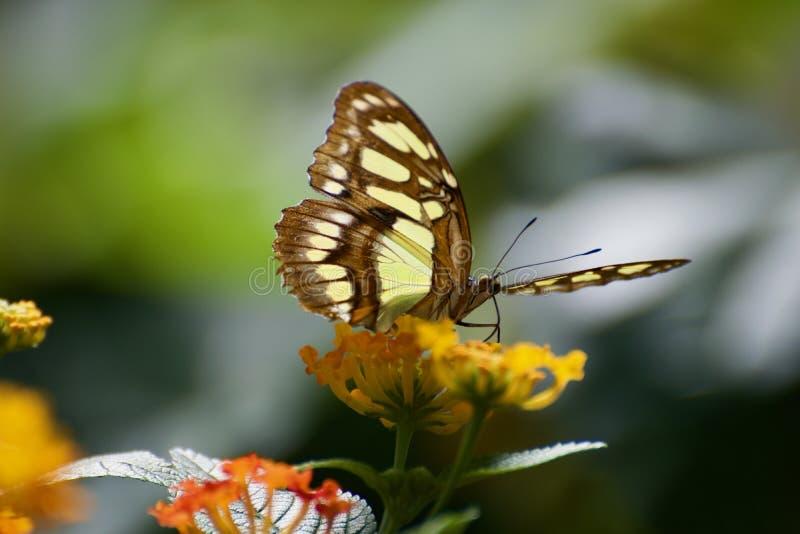Μια πεταλούδα σε ένα λουλούδι στοκ εικόνες
