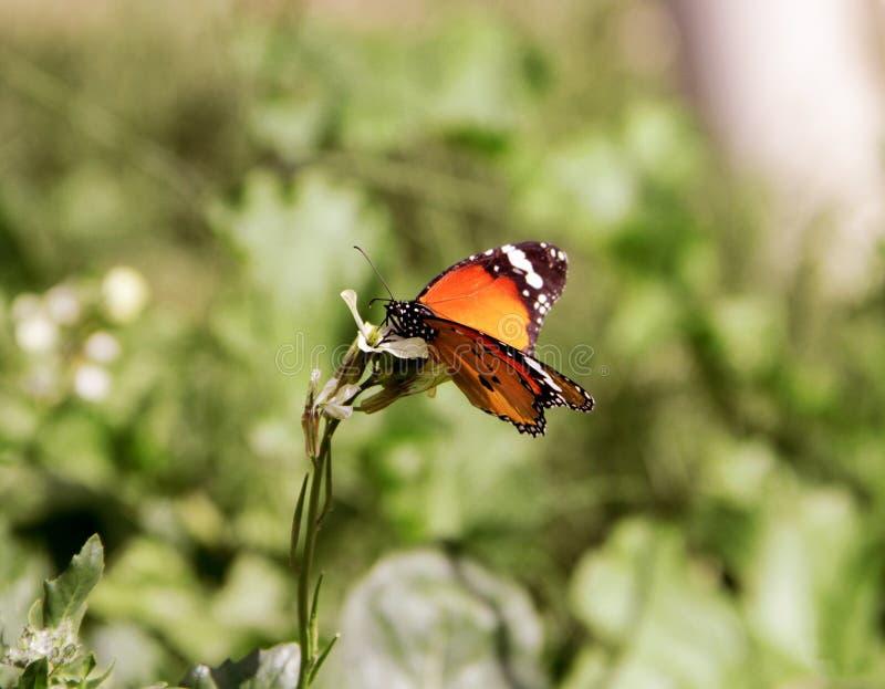 Μια πεταλούδα Browen στοκ εικόνες