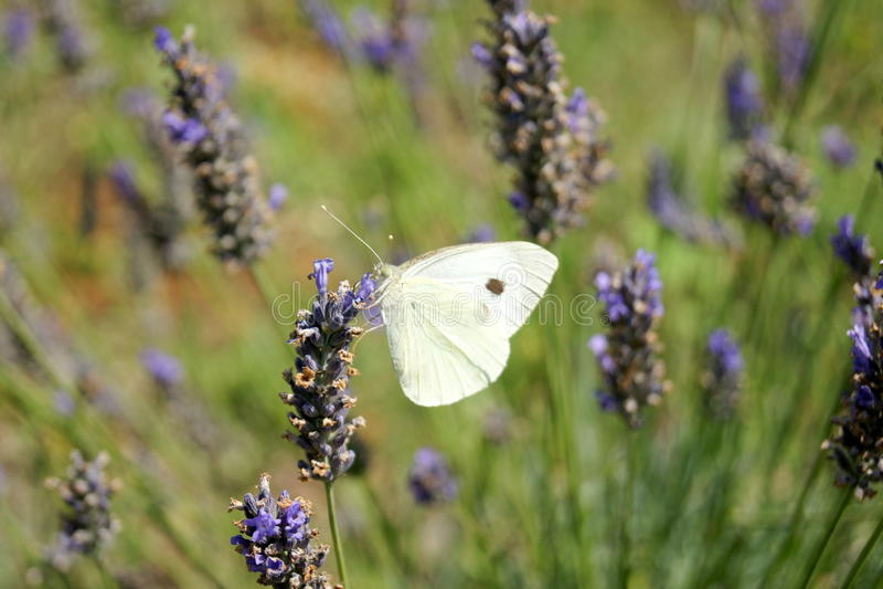 Μια πεταλούδα lavender στα λουλούδια στοκ φωτογραφία με δικαίωμα ελεύθερης χρήσης