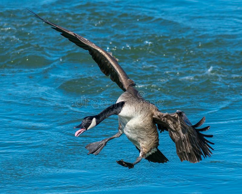 Μια πετώντας καναδική χήνα που προετοιμάζεται να προσγειωθεί στο νερό στοκ φωτογραφία με δικαίωμα ελεύθερης χρήσης