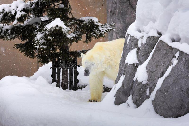 Μια πολική αρκούδα που περπατά γύρω από το βράχο στο χιόνι στοκ φωτογραφίες
