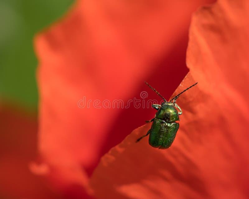 Μια πολύ μικρή πράσινη συνεδρίαση κανθάρων φύλλων σε ένα κόκκινο άνθος παπαρουνών στοκ φωτογραφίες με δικαίωμα ελεύθερης χρήσης