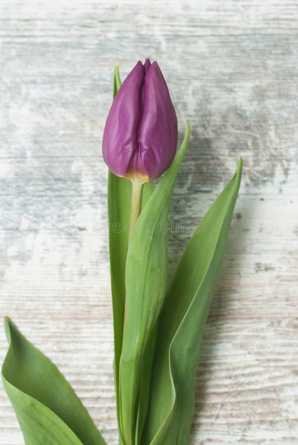 Μια πορφυρή τουλίπα στο αγροτικό γκρίζο υπόβαθρο Κάθετη εικόνα Απομονωμένο ιώδες λουλούδι ανοίξεων στοκ εικόνες με δικαίωμα ελεύθερης χρήσης