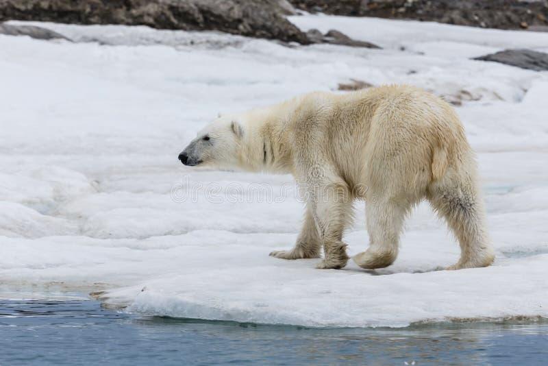 Μια πολική αρκούδα στο αρχιπέλαγος ακτών πάγου Svalbard στοκ εικόνες