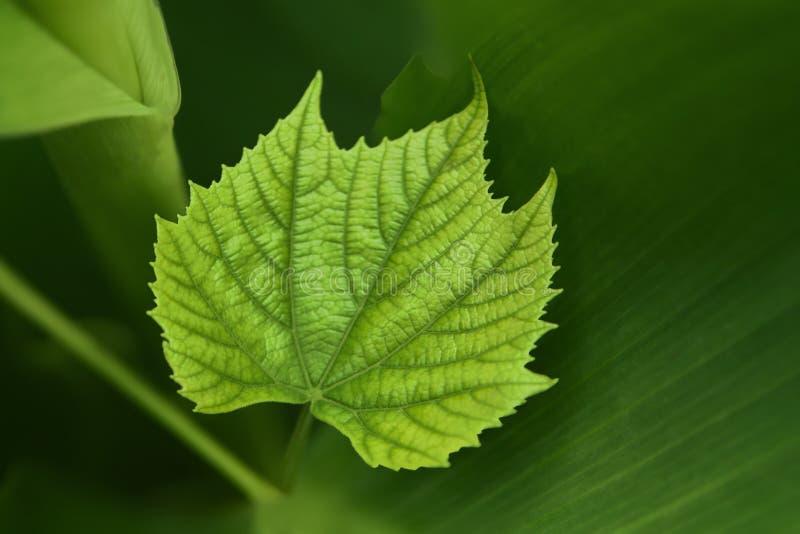 Μια πράσινη κινηματογράφηση σε πρώτο πλάνο φύλλων σταφυλιών αμπέλων στοκ εικόνα