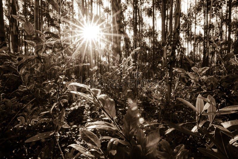 Μια πυκνή δασική σκηνή τοπίων που βλέπει στη σέπια με τον ήλιο ρύθμισης που διαρρέει μέσω των δέντρων στοκ εικόνες