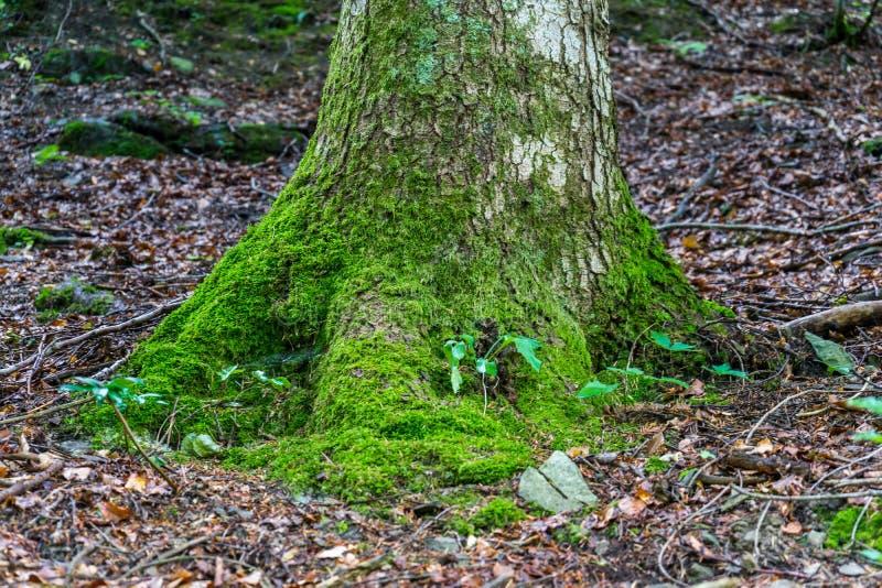 Μια ρίζα ενός δέντρου που καλύπτεται με το βρύο στοκ φωτογραφίες με δικαίωμα ελεύθερης χρήσης