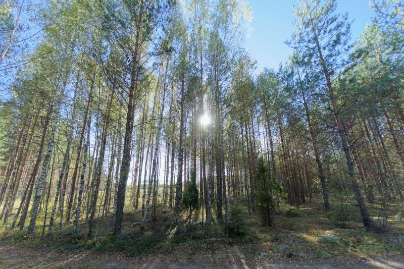 Μια σειρά των δέντρων μπροστά από έναν τομέα Φωτεινός ήλιος στο πλαίσιο glare στοκ φωτογραφίες