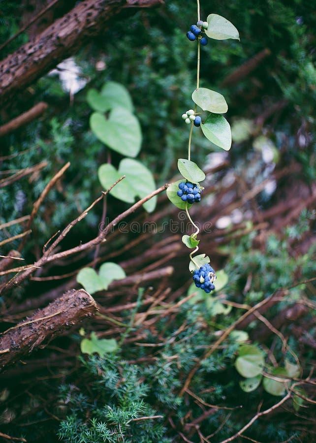 μια σειρά των μούρων που αυξάνονται στις άγρια περιοχές στοκ φωτογραφία με δικαίωμα ελεύθερης χρήσης