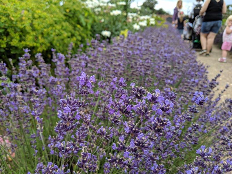 Μια σειρά lavender που ευθυγραμμίζει μια πορεία στοκ φωτογραφίες