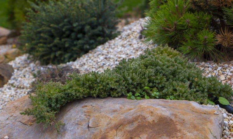 Μια σερνμένος λεύκα που κρεμά από μια quartzite πέτρα φιαγμένη από carrion βράχου γέμισε με το μαρμάρινο φλοιό ψίχουλου και πεύκω στοκ εικόνες