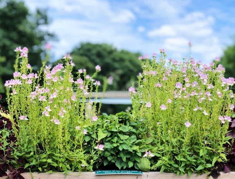 Μια σε δοχείο Verbena άνθιση λουλουδιών bonariensis στοκ εικόνες με δικαίωμα ελεύθερης χρήσης