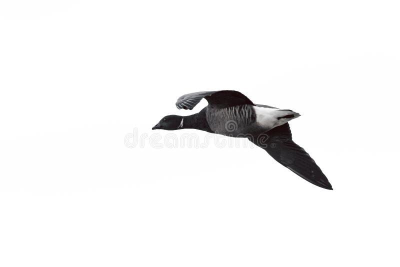 Μια σκοτεινός-διογκωμένη χήνα του Brent ή σκοτεινός-διογκωμένο Brant UK στοκ εικόνες