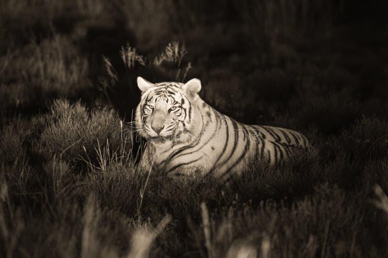 Μια σπάνια άσπρη τίγρη στις άγρια περιοχές στοκ εικόνες με δικαίωμα ελεύθερης χρήσης