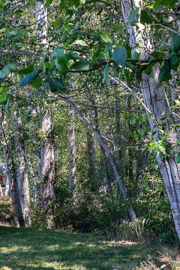 Μια στάση των δέντρων σημύδων με το διάστικτο άσπρο φλοιό με το χαμόκλαδο και τη χλόη στοκ εικόνες