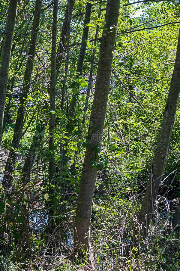 Μια στάση των δέντρων σημύδων με το διάστικτο άσπρο φλοιό με το χαμόκλαδο και τη χλόη στοκ φωτογραφίες με δικαίωμα ελεύθερης χρήσης