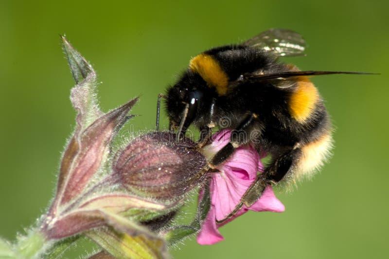 Μια στιλβωμένη παρακολουθημένη μέλισσα Bumble - Bombus Terrestis στο κόκκινο στοκ φωτογραφία με δικαίωμα ελεύθερης χρήσης