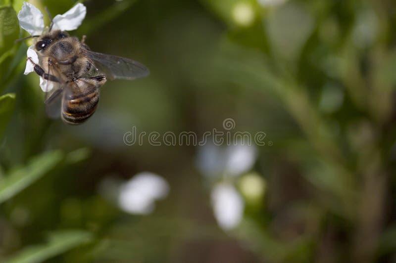 Μια συνεδρίαση μελισσών σε ένα άσπρο λουλούδι στοκ φωτογραφία