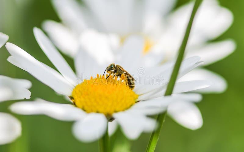 Μια συνεδρίαση μελισσών σε ένα λουλούδι της Daisy στοκ φωτογραφία με δικαίωμα ελεύθερης χρήσης