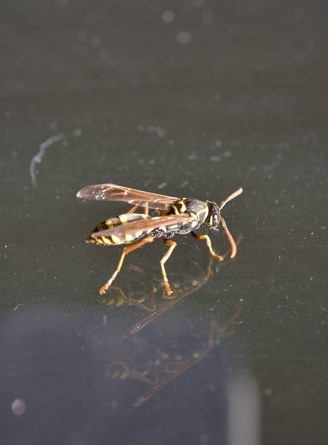 Μια σφήκα που πετά στο δωμάτιο στοκ φωτογραφία με δικαίωμα ελεύθερης χρήσης