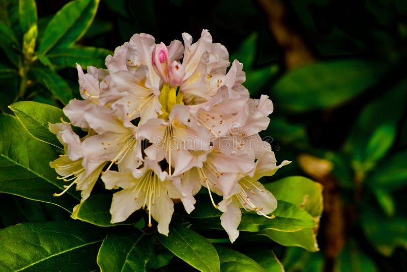 Μια σφαίρα των άσπρων και ρόδινων λουλουδιών στοκ εικόνα με δικαίωμα ελεύθερης χρήσης