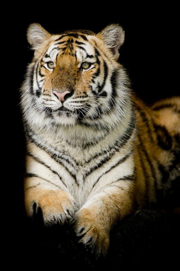Μια τίγρη έτοιμη να επιτεθεί στοκ εικόνα με δικαίωμα ελεύθερης χρήσης