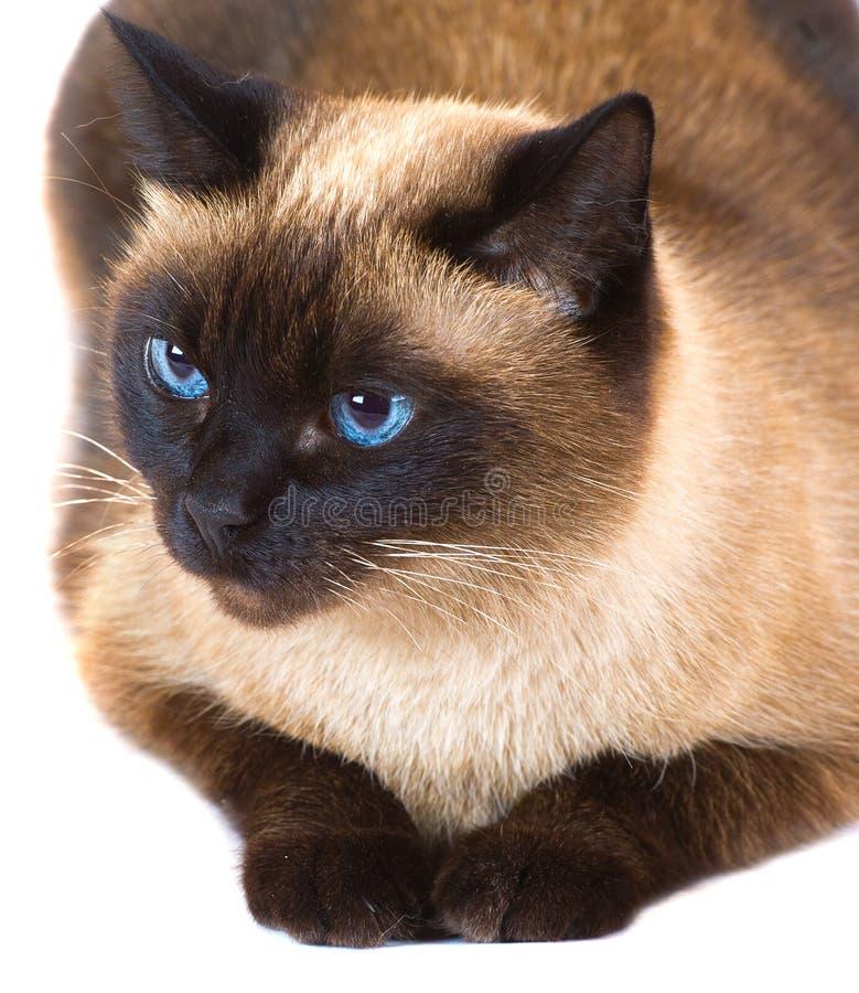 Μια ταϊλανδική γάτα στοκ εικόνα
