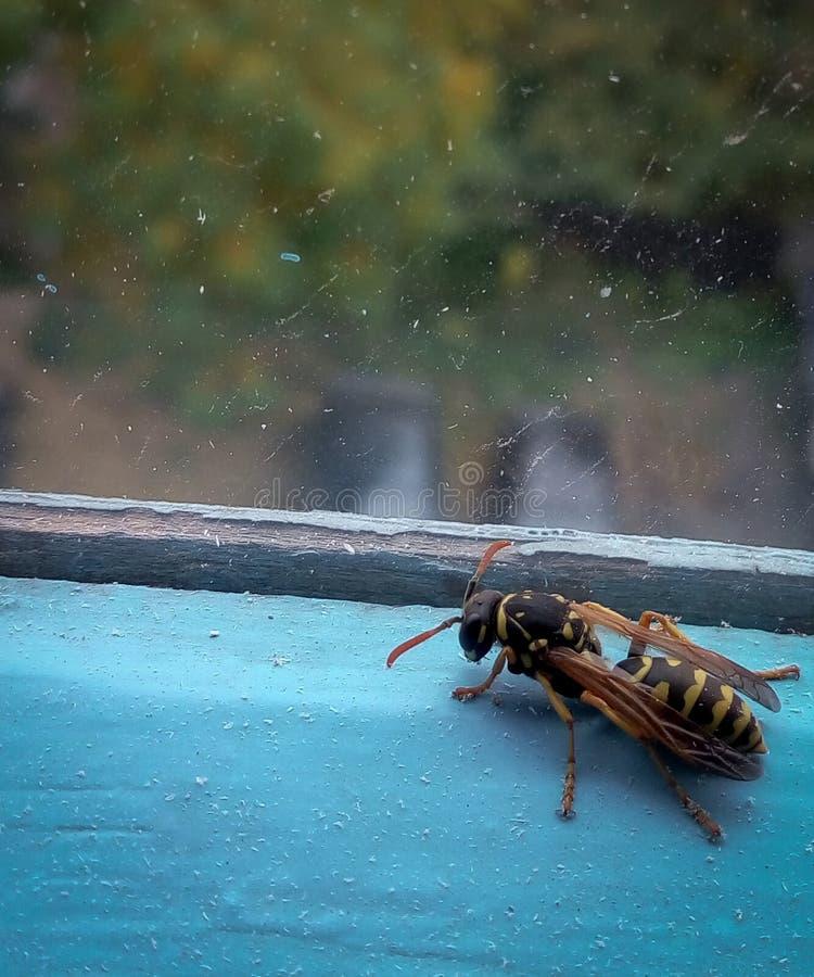 Μια τεράστια κίτρινος-μαύρη σφήκα κάθεται σε ένα μπλε ξύλινο παράθυρο sil στοκ εικόνες με δικαίωμα ελεύθερης χρήσης