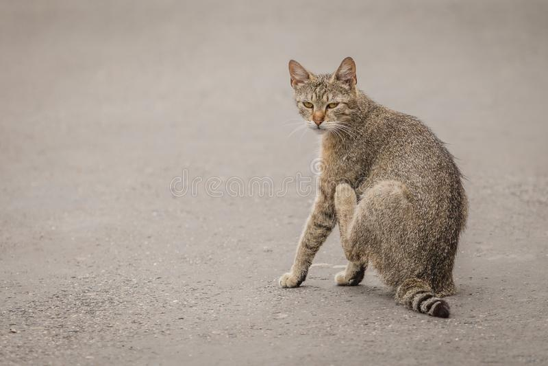 Μια τιγρέ συνεδρίαση γατών στην γκρίζα οδό στοκ φωτογραφίες