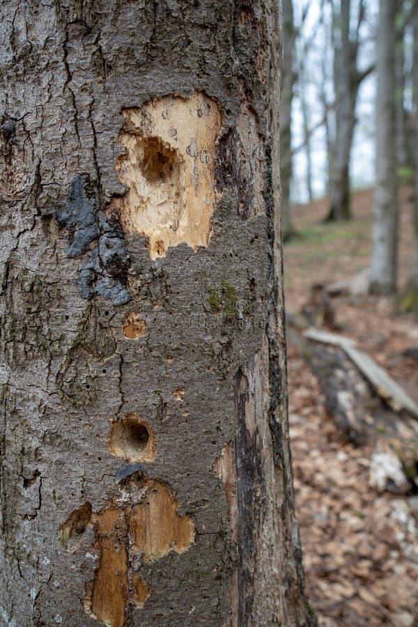 Μια τρύπα που ραμφίζεται από έναν δρυοκολάπτη σε ένα δέντρο Ένα ακρωτηριασμένο δέντρο από ένα πουλί στοκ φωτογραφίες με δικαίωμα ελεύθερης χρήσης