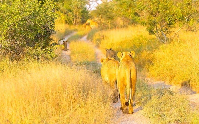 Μια υπερηφάνεια των αφρικανικών λιονταριών που περπατούν κάτω από έναν βρώμικο δρόμο σε έναν νότο Afr στοκ εικόνες