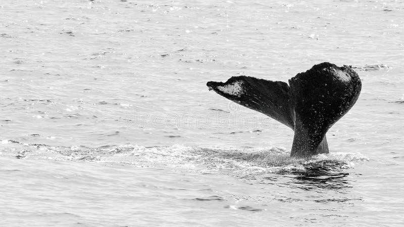 Μια φάλαινα Humpback βουτά βαθιά στη νότια κεντρική Αλάσκα στοκ εικόνες