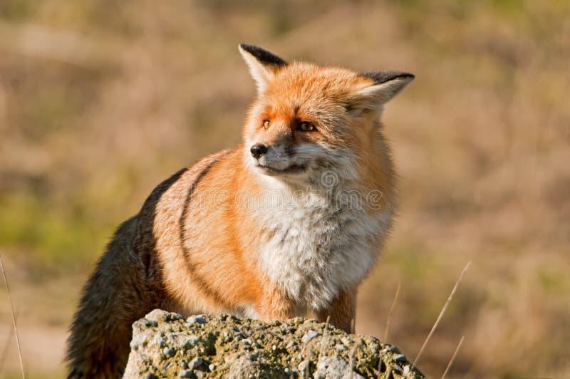 Μια φοβησμένη αλεπού στοκ εικόνα